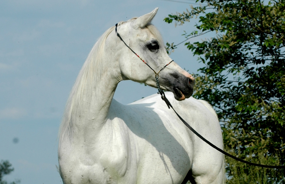 polonya-arap-arab-poland-horse-at-satilik-sale